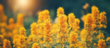 Beautiful Autumn Natural Background With Yellow Flowers In Sunlight, Banner. Selective Focus