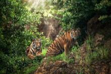 Huge Tiger Lying On Grass Near...
