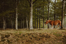 Chestnut Horse Grazing In Green Pasture In Forest In Afternoon In Countryside