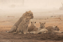 Full Length Of Group Of Wild Lioness And Lion Resting On Dry Ground In African Savanna In Savuti Area In Botswana