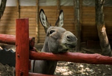 A Cheerful Donkey Looks At The...