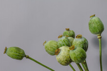 Still Life With Green Huge Poppy Seed Pods In Glass Vase On Gray Background, Selective Focus