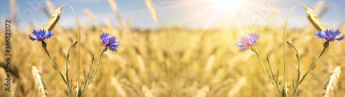 Fototapeta Beautiful landscape from golden field of Barley grain with purple cornflower ( C