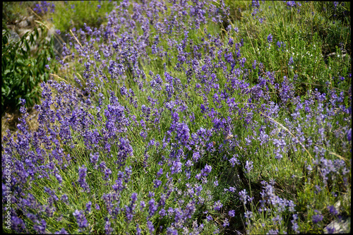 Closeup image of lavender  blooming in provence near groudon Canvas Print