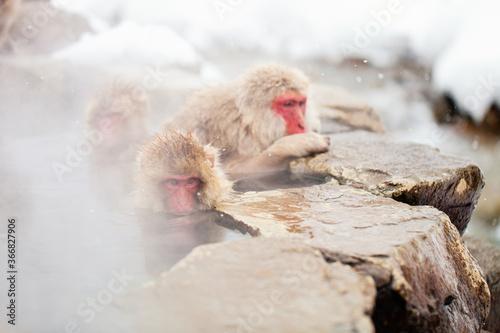 Photographie Snow Monkeys