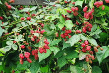 Shrub Growing In The Garden Wi...