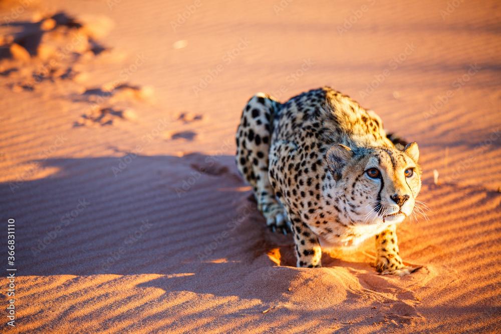 Fototapeta Cheetah in dunes