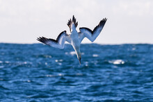 Australasian Gannet Diving For...