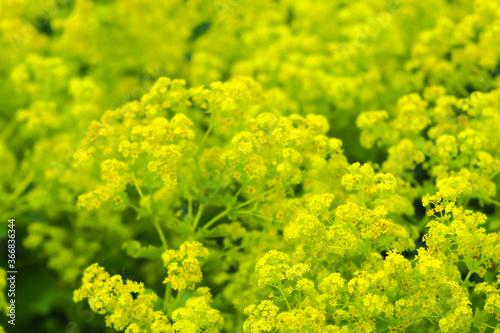 Stampa su Tela Mantle yellow flowers or Alchemilla mollis, garden lady mantle, ornamental plant