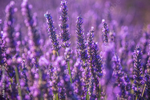 Fototapety, obrazy: Famous lavender fields in France Provence - travel photography