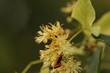 kwiaty  lipy  i  dzikie  owady