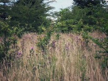 Canadian Thistle In Dry Meadow