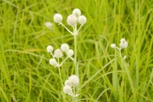 White Thistles In The Grass