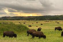Wild Buffalo Grazing In A Gree...