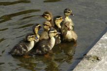 A Family Of Cute Mallard Duckl...