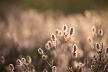 Fluffy Flowers Of Trifolium Arvense On Sunset In The Field