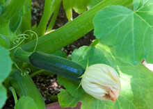 Close Up On Zuchinni Squash Ripening On The Plant, Flower Still Attached.