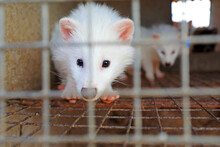 White Raccoon In Cages On A Fa...