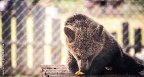 brown bear cub baby eating on belly  spruce tree looking at camera with blur background
