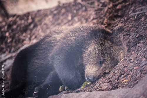 brown bear cub baby sleaping on belly on fallen spruce tree looking at camera with blur background
