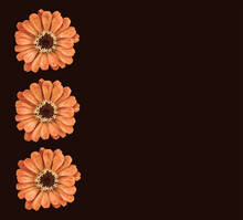 "Three Orange Toned ""Zinnia Peruviana"" Flowers Aligned On The Left Against A Dark Brown Background. Could Be Used As A Banner Or Card Design."