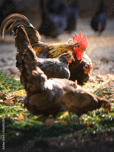 Photo Rooster and chickens in the farmyard