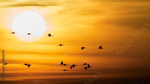 wildlife photo of Common Crane (Grus grus) in migration Fototapete