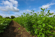 Pigeon Pea Crop Field With Blu...