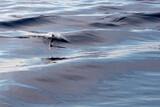 Fototapeta Tęcza - Dolphin fin in the sea at sunset