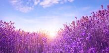 Sunlit Lavender Field Under Bl...