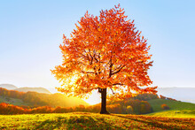 Beautiful Autumn Scenery. On The Lawn Covered With Leaves At The High Mountains There Is A Lonely Nice Lush Strong Tree And The Sun Rays Lights Through The Branches With The Background Of Blue Sky.