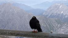 In Den Alpen: Gefiederter Gast...