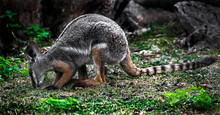 Yellow-footed Rock Wallaby. Latin Name - Petrogale Xanthopus