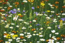 Mixed Wildflowers In Spring Field. Purple, White And Yellow