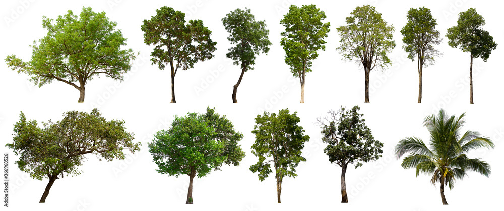 Fototapeta isolated tree green set is located on a white background.Collection of isolated tree green on white background Tropical tree