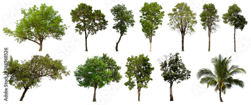 Fototapeta isolated tree green set is located on a white background.Collection of isolated tree green on white background Tropical tree obraz