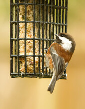 A Chestnut-backed Chickadee.  It Is A Small Passerine Bird In The Tit Family, Paridae.