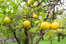 Oranges On Branches. Citrus Or...