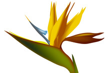 Strelezia,Bird Of Paradise Flo...