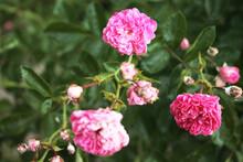 Three Buds Of Tender Roses Soa...