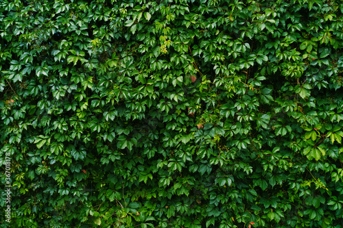 Obraz na plátne Wall of shrubs and growing plants