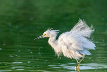 Snow White Egret Standing In Water On Green Background