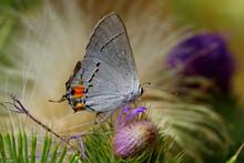 Gray Hairstreak Butterfly (Str...