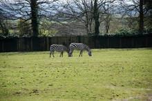 Two Young Beautiful Zebras Graze On A Green Field