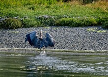 Great Blue Heron Wading And Hunting For Fish Near The Shore On Vancouver Island, British Columbia