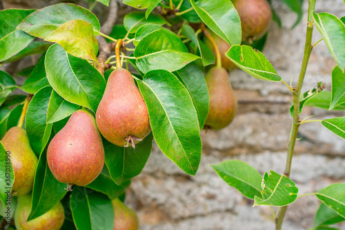 Fotografija pears almost ready for harvest on a pear tree.
