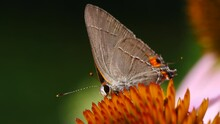 Gray Hairstreak Butterfly (Strymon Melinus) Foraging For Food. This Lovely Little Gray Butterfly Is A Delight To Enjoy In Gardens Across The United States.