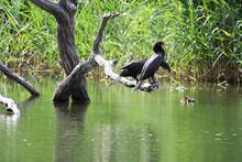 Double-crested Cormorants Perc...