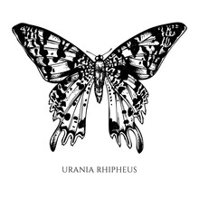 Vector Set Of Hand Drawn Black And White Madagascan Sunset Moth