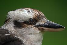 Kookaburras Are Terrestrial Tr...